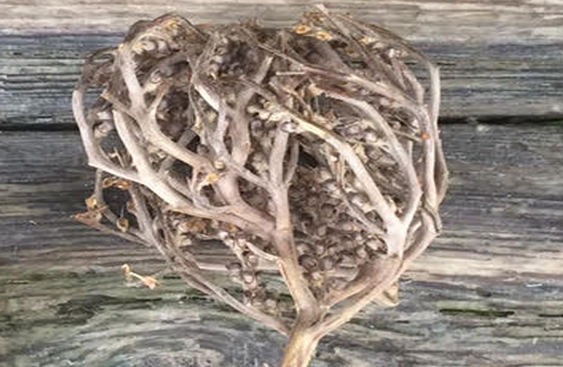 The real rose of Jericho  tradition